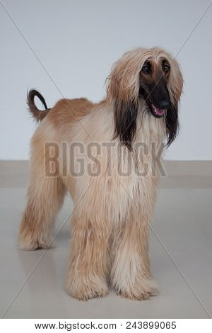 Cute Afghan Hound Is Standing On Tiled Floor. Eastern Greyhound Or Persian Greyhound. Pet Animals.