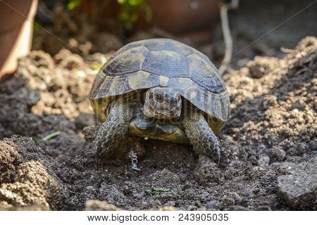 Land Turtle Close Up, Proxy Photo Of A Land Turtle Walking.