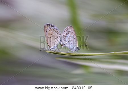 Love Couple Butterfly, Mating Pair Of Butterflies, Close Up. Island Bali, Indonesia
