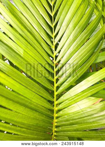Green Coconut Leaves Or Cocos Nucifera L With Many Leaf. This Is Macro Image Of Coconut Tree Branch