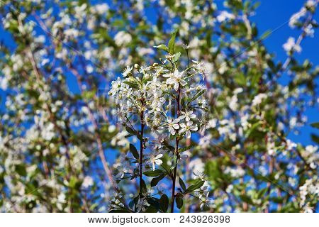 Branches Of A Cherry Tree With Blossoming White Flowers. On A Blurred Background Other Tree Branches