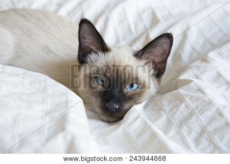 The Kitten (siamese Type ,mekong Bobtail) Lies On A Cover