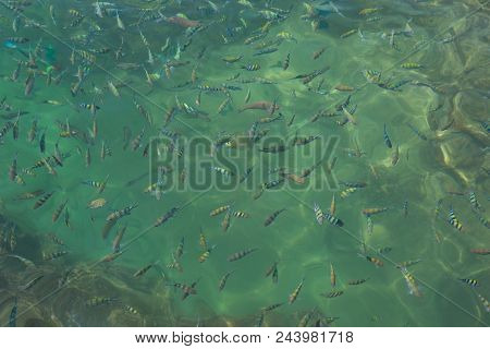 Lot Of Colorful Fishes On The Water Surface. Fish Feeding. Beautiful Sea Fish Shoals In The Clear Bl