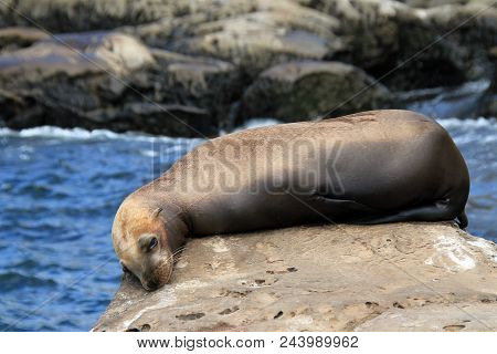 California Sea Lion (zalophus Californianus) Lying On A Rock, La Holla, California, United States