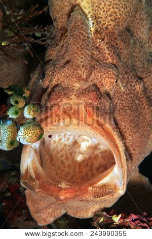 Giant Frogfish (antennarius Commerson) From Front, With Mouth Wide Open. Anilao, Philippines