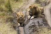 A male lion courts a female lioness on the plains of the Masai Mara. poster