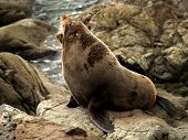 New Zealand wild life ocean Fur Seal poster
