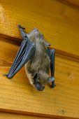 A sleeping bat is hanging on a plank wall, hidden behind window shutters. poster