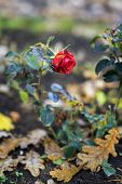 Last blooming rose on the background of fallen autumn oak leaves. Concept of nostalgia and mood poster