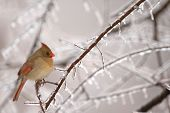 A common winter scene in the midwest is the female cardinal perched near a feeder. poster