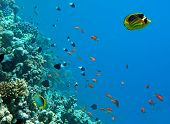Tropical fish in the coral reef natural environment poster