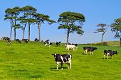 Idyllic meadow with black and white cows poster