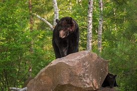 Adult Female Black Bear (ursus Americanus) On Rock With Cub - Captive Animals