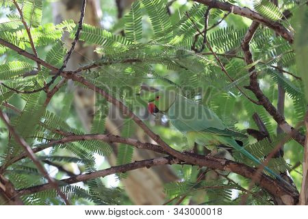 Portrait With Green Background. Also The Blue-crowned Green Parrot, Luzon Parrot, The Philippine Gre
