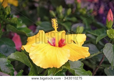 Hardy Hibiscus Rose Of Sharon And Tropical Hibiscus. Exotic Plants And Flowers. Gorgeous Hibiscus Fl