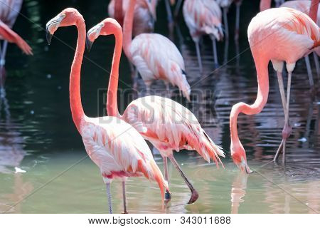 An American Flamingos Or Caribbean Flamingos ( Phoenicopterus Ruber Ruber). Colony Of Flamingos
