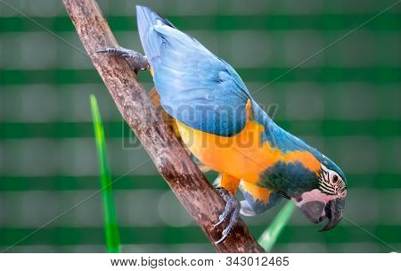 A Beautiful Blue-and-yellow Macaw (ara Ararauna), Also Known As The Blue-and-gold Macaw While Clingi