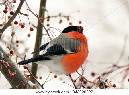 Bullfinch Sitting On A Branch And Eating Berries. Male Common Red Bullfinch In Winter In Snowfall. B