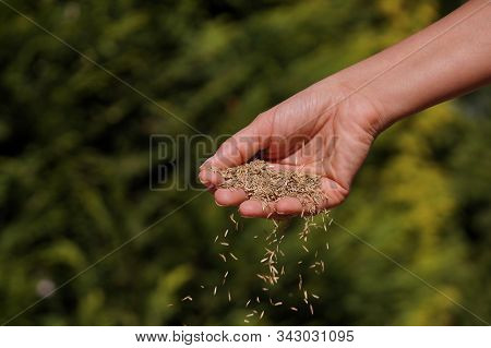 Female Hand Sowing Grass Seeds. Sowing Grain.