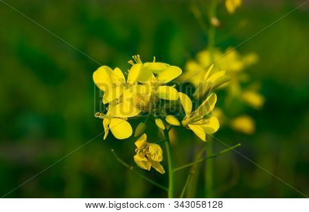 Close Up Of Mustered Flowers Brassicaceae Or Cruciferae Flowers In A Field With Green Blurred Backgr