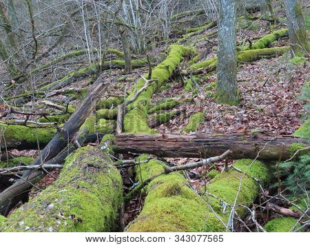 Neglected Forest In Early Spring When Green Moss On Fallen Tree Trunks Is The Only Vegetation