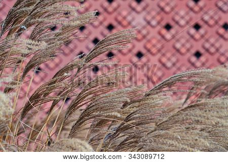 Dry Ears Of Grass On The Background Of A Red Brick Wall, Decoration Of Plants In The City. Spikelets