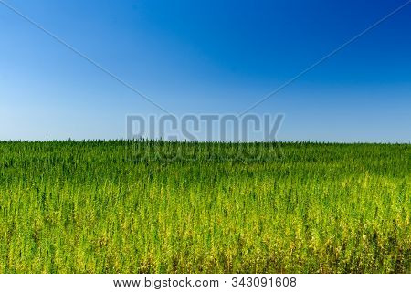 Field Of Medical Cannabis Plant On Summer
