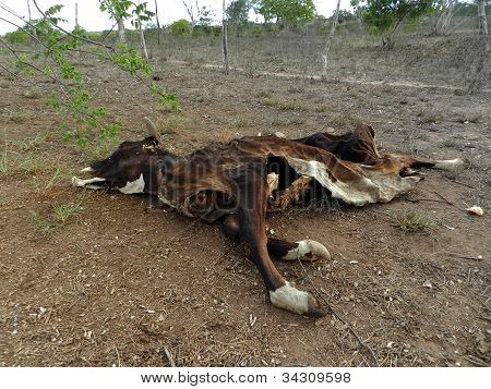 carcass of cow death by drought in the Brazilian backlands poster