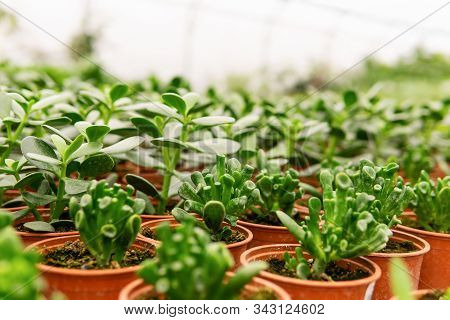 Many Pots With Succulent Crassula, Cultivar Hobbit, And Simple Crassula On Blurred Background In Gre