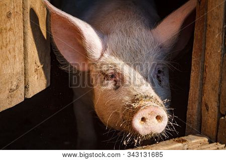A Piglet With A Pink Nose, A Piglet Peeps Out Of A House On A Pig Farm Waiting For Food For The Holi