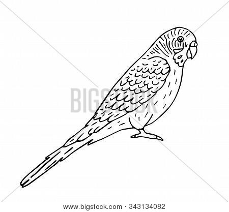 Vector Hand Drawn Doodle Sketch Black Outline Budgie Parrot Isolated On White Background