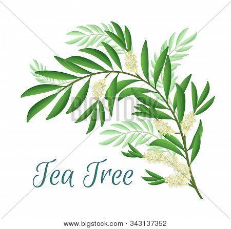 Tea Tree Branch With Flowers And Leaves. Malaleuca Or Tea Tree Design Composition. Vector Illustrati