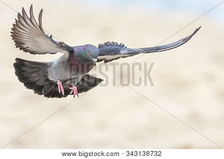 Domestic Pigeon (columba Livia Domestica) Columbidae, Spreading Wings And Landing On Isolated Blurre