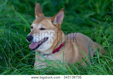 Yellow And White, Mixed Breed Dog (canis Lupus Familiaris) In The Meadow, Close Up Portrait.