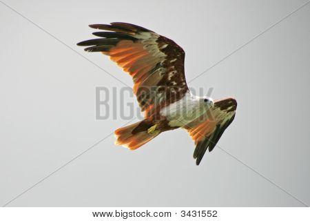 Brahminy Kite In Langkawi