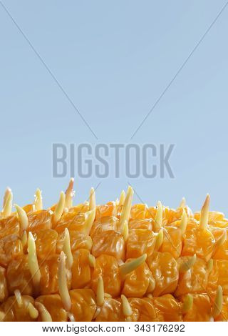 Macro Of Germinating Corns In Maize Corncob Over Blue Sky Background, Concept Of Re-creation, New Gr