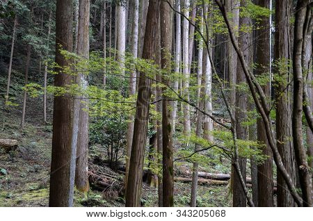 Beautiful Green Mystique Pine Forest In Japan