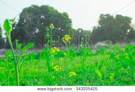 Beautiful Mustered Plants With Their Colourful Leaves And Flowers In A Field,punjab,pakistan.