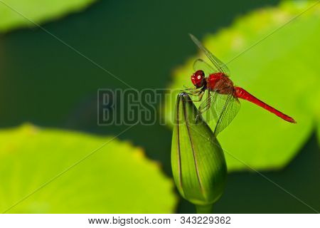 Red Dragonfly On A Green Flower In Thailand.
