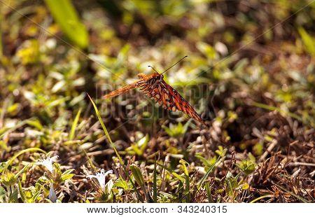 Gulf Fritillary Butterfly Agraulis Vanillae Linnaeus
