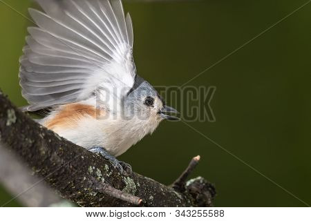 Tufted Titmouse About To Take To Flight From Tree Branch