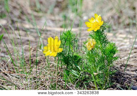 Bright Yellow Spring Adonis Flowers, A Sign Of The Approaching Spring