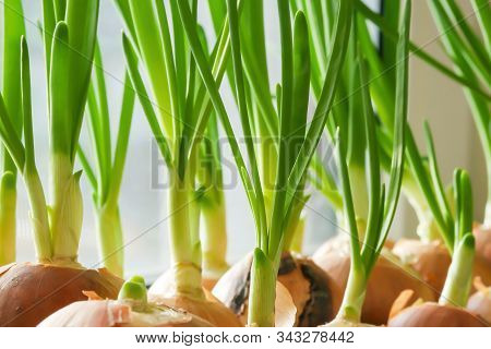 A Garden Of Young Onion On A Window Sill.growing Onions On The Windowsill. Fresh Green Onions At Hom