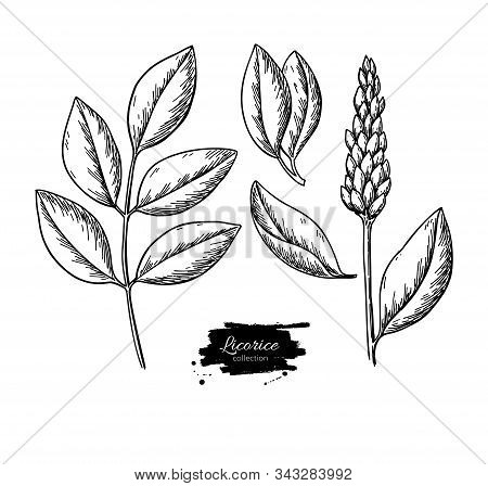 Licorice Plant Vector Drawing Set. Botanical Branch With Flower And Leaves.