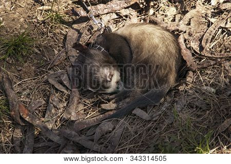 Home Sweet Pet, Ferret On A Leash Lies On The Ground. Cute Fluffy Ferret Walk In The Park Curled Up.