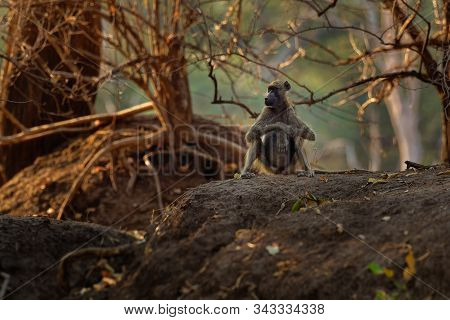 Chacma Baboon - Papio Ursinus Griseipes  Or Cape Baboon, Old World Monkey Family,one Of The Largest