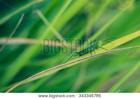 Grasshopper On Green Grass Close-up. Grasshopper Sitting On Green Grass Close-up