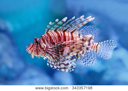 Luna Lionfish (pterois Lunulata). Luna Lion Fish Swimming In The Blue Water. Soft Focus, Selective F
