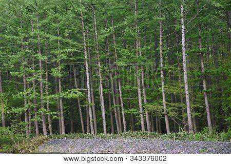 Forest In Hotaka Mountain Range, Kamikochi National Park, Kamikochi, Japan