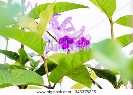 Beautiful Purple Wreath(Petrea Volubilis) or Queen's Wreath,Sandpaper Vine decorated in garden with bokeh background. Flower,garden ening or outdoor concept. poster